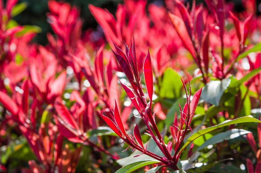 Czerwone, wręcz purpurowe kwiaty pierisa japońskiego 'Forest Flame' w ogrodzie, a także pielęgnacja, uprawa, sadzenie oraz inne zabiegi pielęgnacyjne tej odmiany