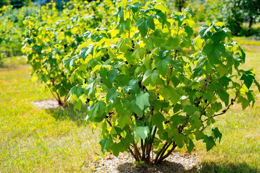 Czarne porzeczki rosnące w ogordzie, a także najlepsze odmiany krzewów, sadzenie, uprawa, pielęgnacja oraz zastosowanie