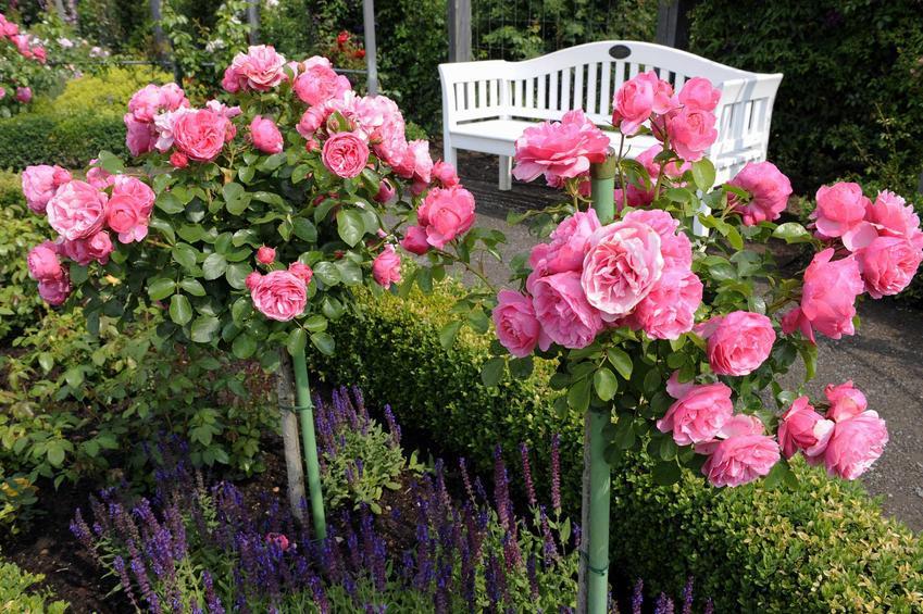 Różowe róże na pniu krok po kroku, czyli wysokopienne róże do ogrodu, ich szczepienie, pielęgnacja, zastosowanie, sadzenie oraz uprawa krok po kroku