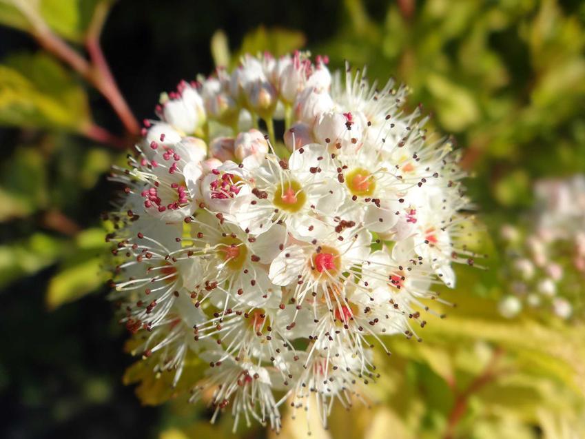 Białe kwiaty pęcherznicy w ogrodzie, a także wymagania, pielęgnacja, uprawa oraz różne odmiany rośliny