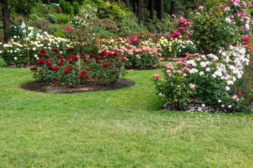 Róże rabatowe o różnych kolorach w ogrodzie w czasie kwitnienia, a także odmiany, sadzenie, pielęgnacja oraz uprawa krok po kroku