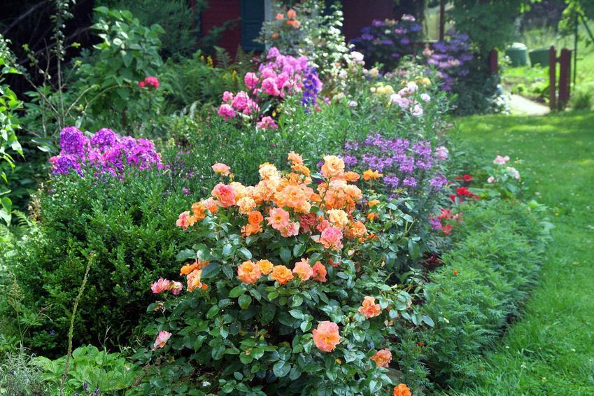 Pomarańczowe róże rabatowe krok po kroku, a także odmiany, uprawa, pielęgnacja, zastosowanie, sadzenie oraz podlewanie