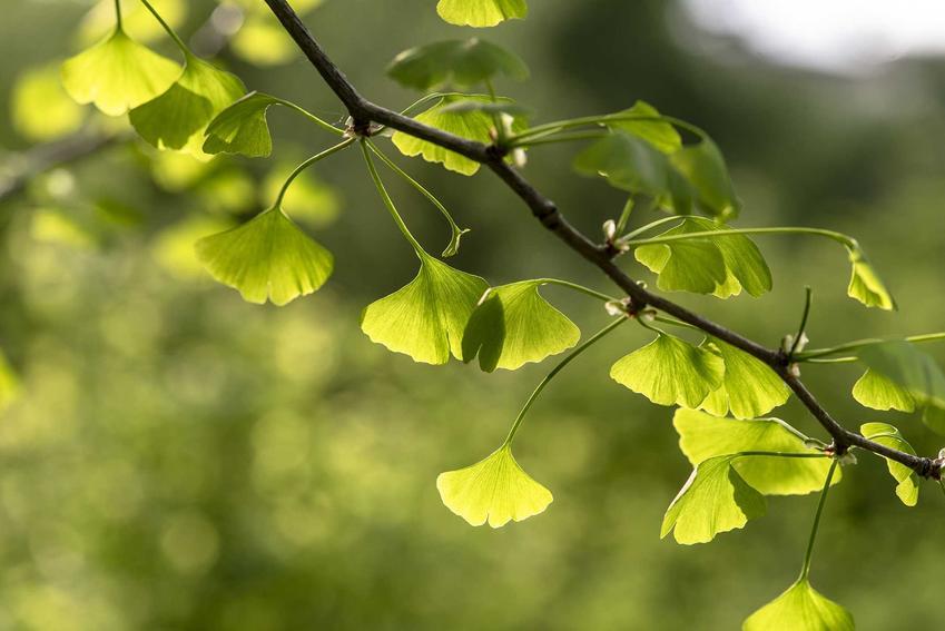 Gałązka miłorzębu japońskiego z zielonymi liśćmi, a także zastosowanie, właściwości lecznicze oraz działanie miłorzębu