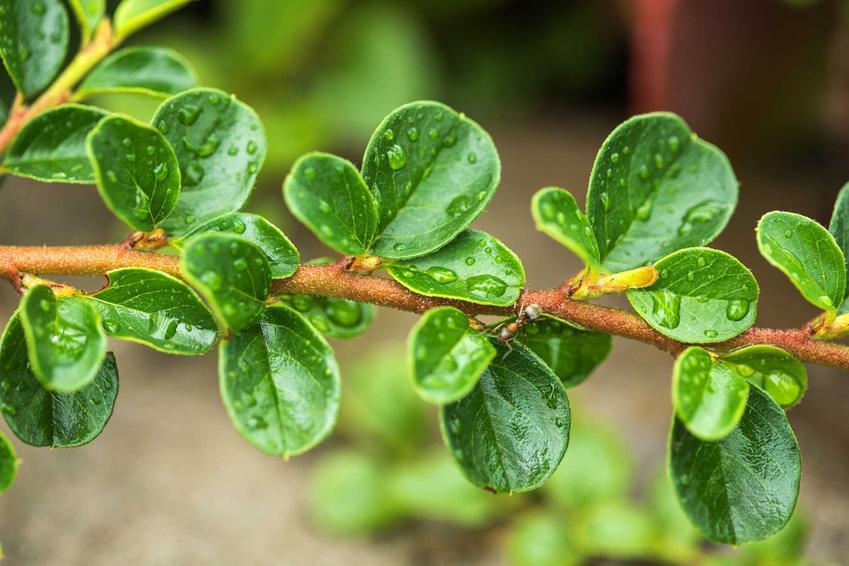 Zielone mokre listki irgii poziomej rosnącej w ogrodzie, a także wymagania rośliny, pielęgnacja i uprawa krok po kroku