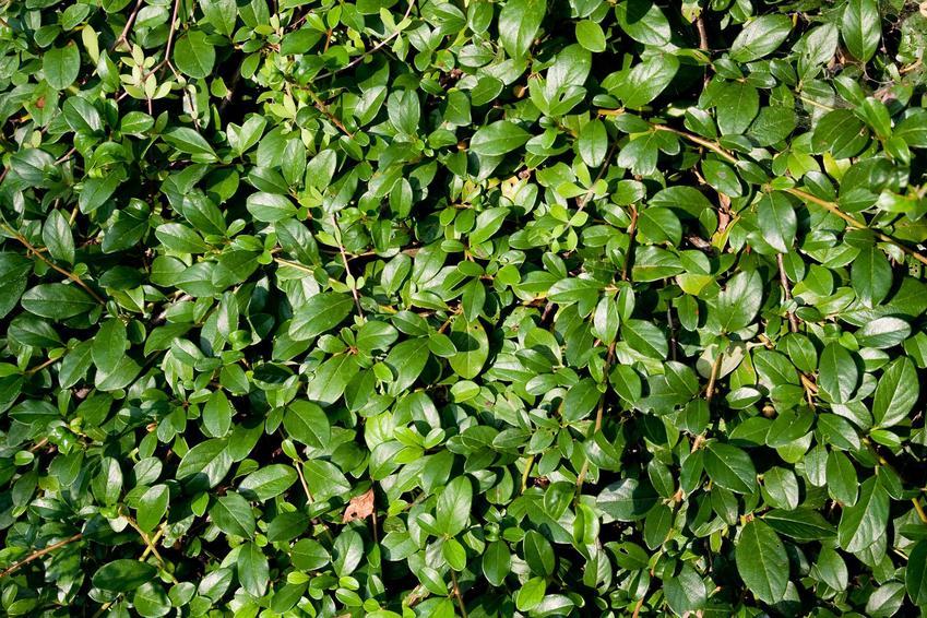 Zielone liście rośliny Irga Dammera Major, a także opis gatunku, sadzenie w ogrodzie i rozstawa, uprawa i pielęgncja