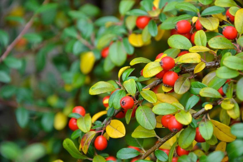 Irga Dammera major o żółtych i zielonych liściach w czasie jesiennego owocowania, a także opis rośliny, jej sadzenie, rozstawa, uprawa oraz pielęgnacja