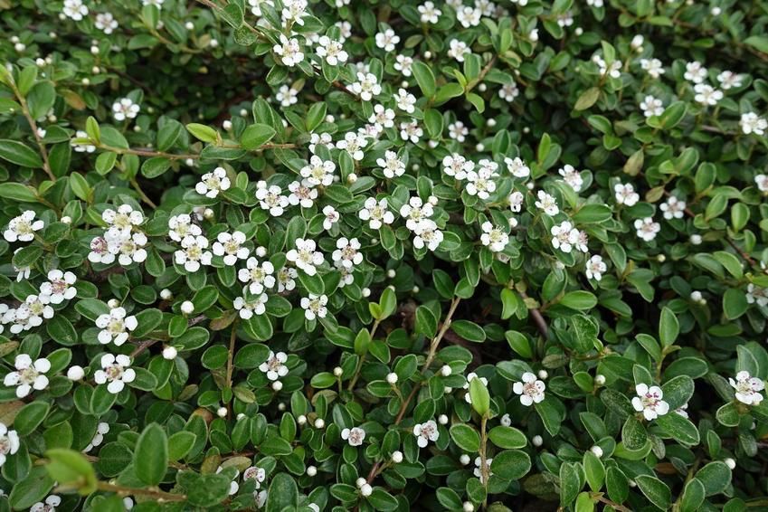 Drobne kwiaty irgi płożącej rosnącej w ogrodzie, a także odmiany rośliny, wymagania, uprawa oraz pielęgnacja krok po kroku