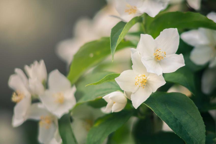 Delikatne kwiaty jaśminu o białych płatkach, a także jaśminowiec w ogrodzie, stanowisko, wymagania i pielęgnacja
