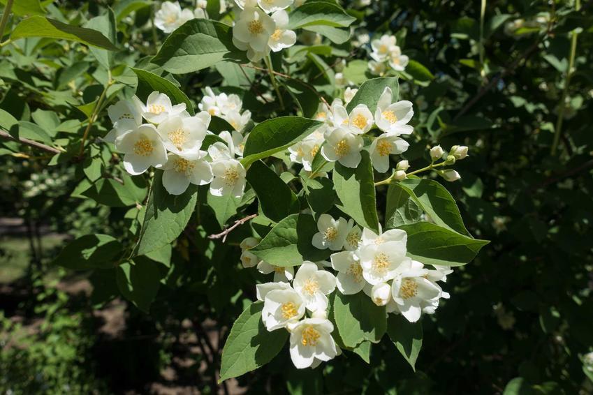 Jaśminowiec wonny rosnący w ogrodzie podczas kwitnienia, a także odmiany jaśminowca, opis, zastosowanie, uprawa i pielęgnacja