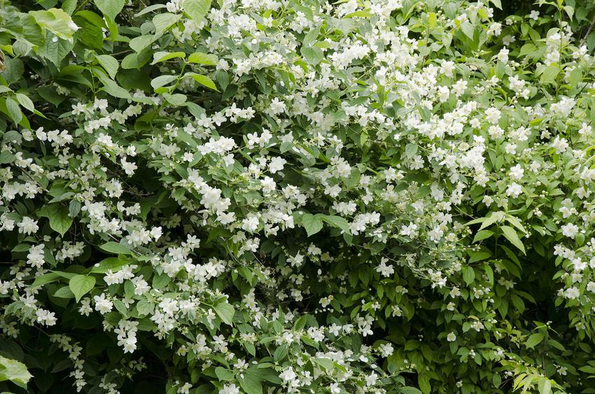 Duże krzewy rośliny jaśminowiec wonny, a także ich opis, uprawa, pielęgnacja i zastosowanie krok po kroku