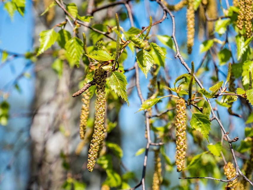 Gałązka pokryta liśćmi i owocami, a także brzoza brodawkowata Betula pednula, opis gatunku, sadzenie, sadzonki oraz wymagania drzewa