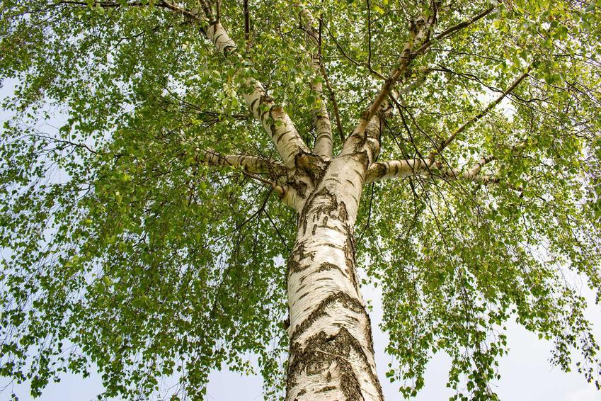Brzoza brodawkowata Betula pendula rosnąca w ogrodzie o białej korze, a także opis drzewa, sadzenie i sadzonki, zastosowanie i wymagania rośliny