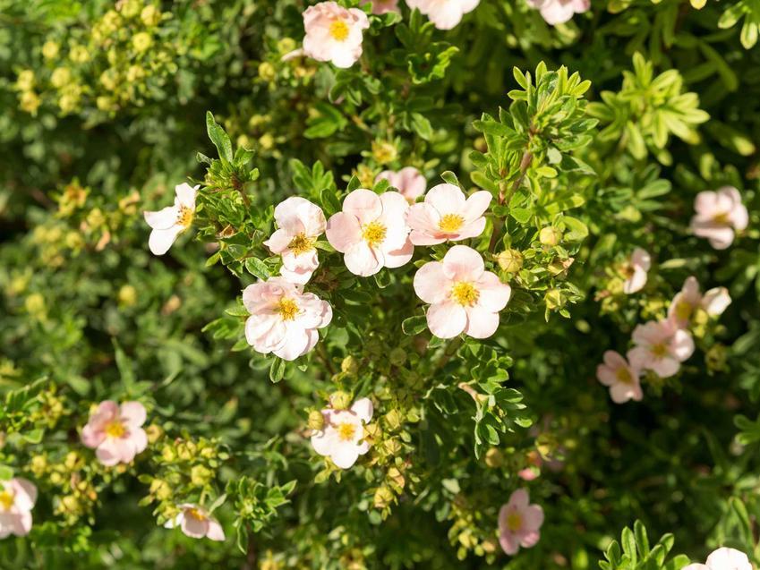 Białe kwiaty pięciornika krzewiastego, a także odmiany rośliny, pielęgnacja i uprawa, zastosowanie oraz sadzenie