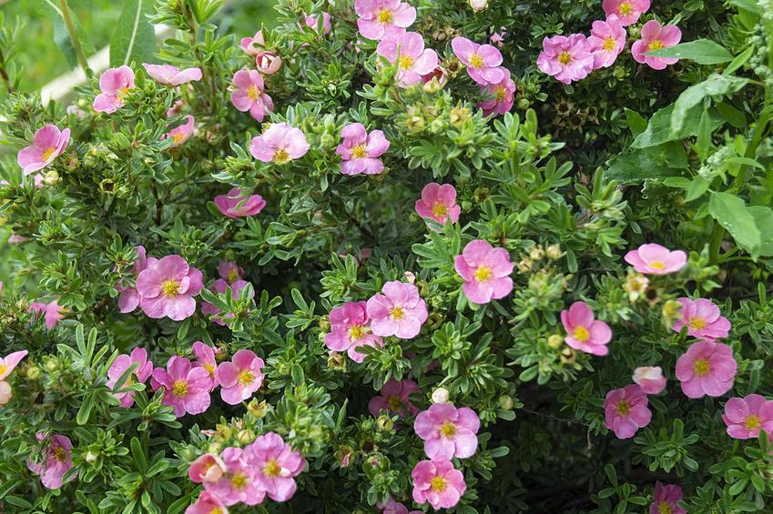Różowe kwiaty pięciornika krzewiastego rosnącego w ogrodzie, a także uprawa, pielęgnacja, zastosowanie, sadzenie i podlewanie krok po kroku