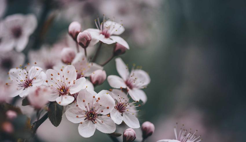 Delikatne kwiaty wiśni w ogrodzie, a także wiśnia i jej pielęgnacja, uprawa, najlepsze odmiany krok po kroku