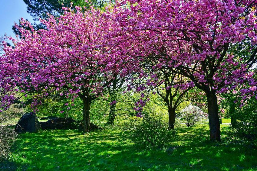 Drzewka wiśni rosnące w ogrodzie, a także uprawa, pielęgnacja oraz najlepsze odmiany wiśni do uprawy amatorskiej w ogrodzie