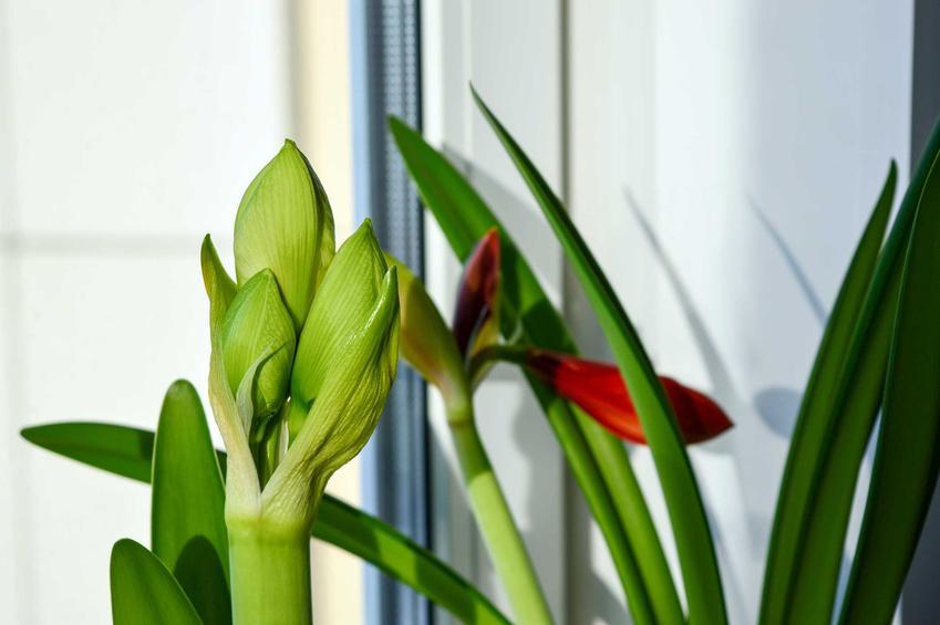 Pędy kwiatowe hippeastrum, a także zwartnica krok po kroku, odmiany, uprawa i pielęgnacja w doniczkach na parapecie