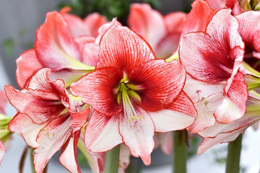 Zwartnica, czyli hippeastrum o biało-czerwonych kwiatach, a także odmiany, pielęgnacja, uprawa, zastosowanie, sadzenie oraz cebule