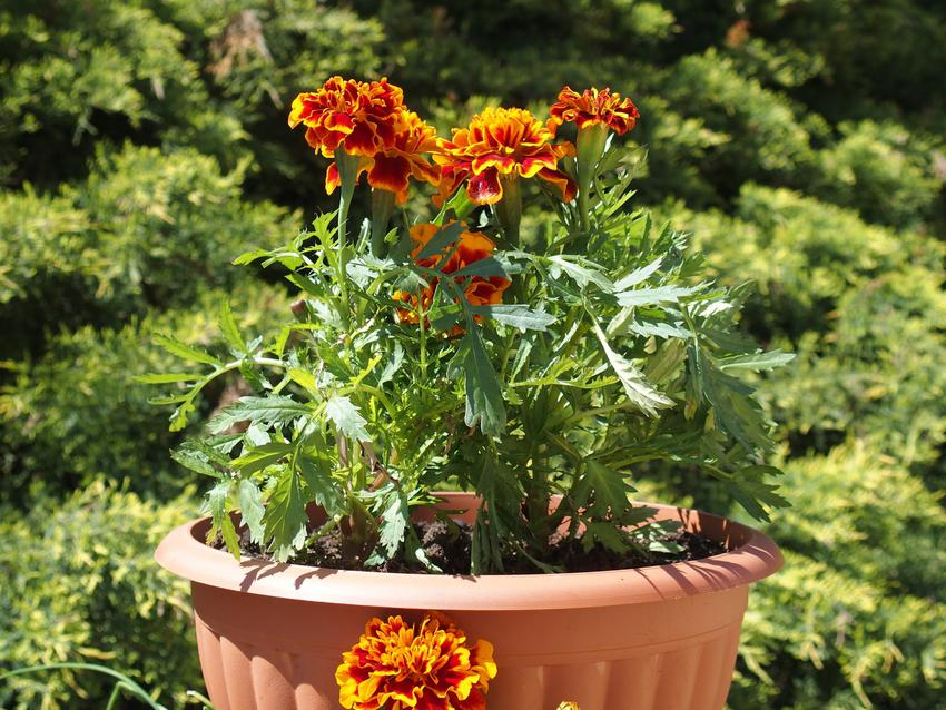 Aksamitki w czasie kwitnienia oraz inne ciekawe kwiaty na balkon i kwiaty balkonowe, czyli polecane rośliny balkonowe krok po kroku