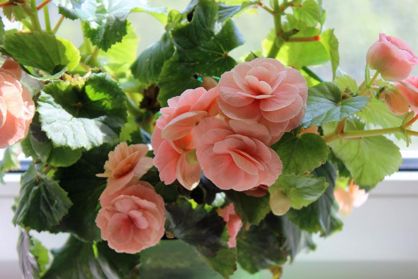 Begonia w czasie kwitnienia oraz inne ciekawe kwiaty na balkon i kwiaty balkonowe, czyli polecane rośliny balkonowe krok po kroku