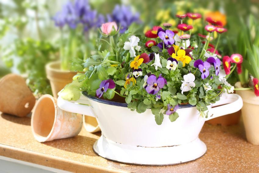 Bratki w czasie kwitnienia oraz inne ciekawe kwiaty na balkon i kwiaty balkonowe, czyli polecane rośliny balkonowe krok po kroku