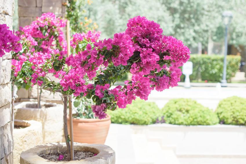 Bugenwilla w doniczce w czasie kwitnienia oraz inne ciekawe kwiaty na balkon i kwiaty balkonowe, czyli polecane rośliny balkonowe krok po kroku