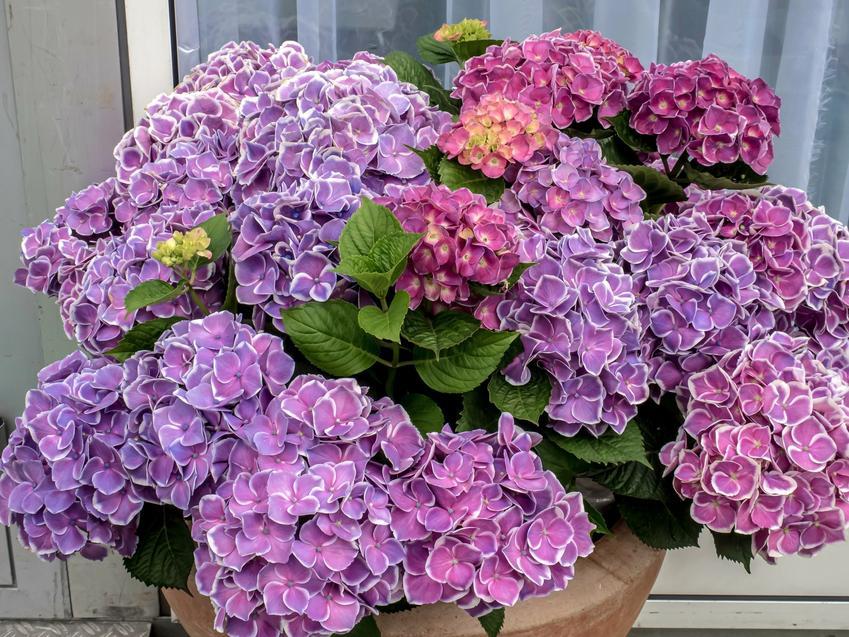 Hortensja doniczkowa w czasie kwitnienia oraz inne ciekawe kwiaty na balkon i kwiaty balkonowe, czyli polecane rośliny balkonowe krok po kroku