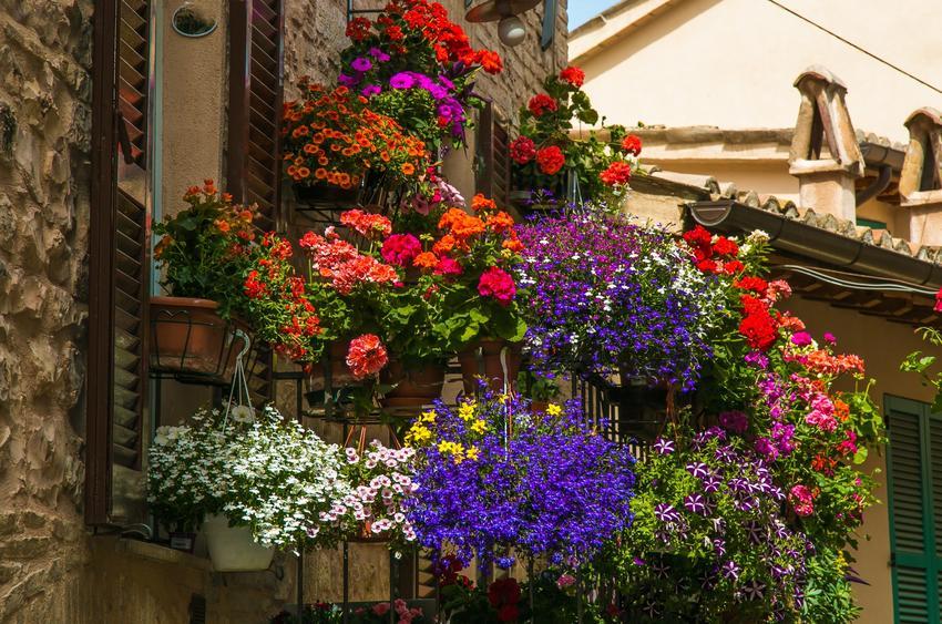 Surfienie, petunie w czasie kwitnienia oraz inne ciekawe kwiaty na balkon i kwiaty balkonowe, czyli polecane rośliny balkonowe krok po kroku