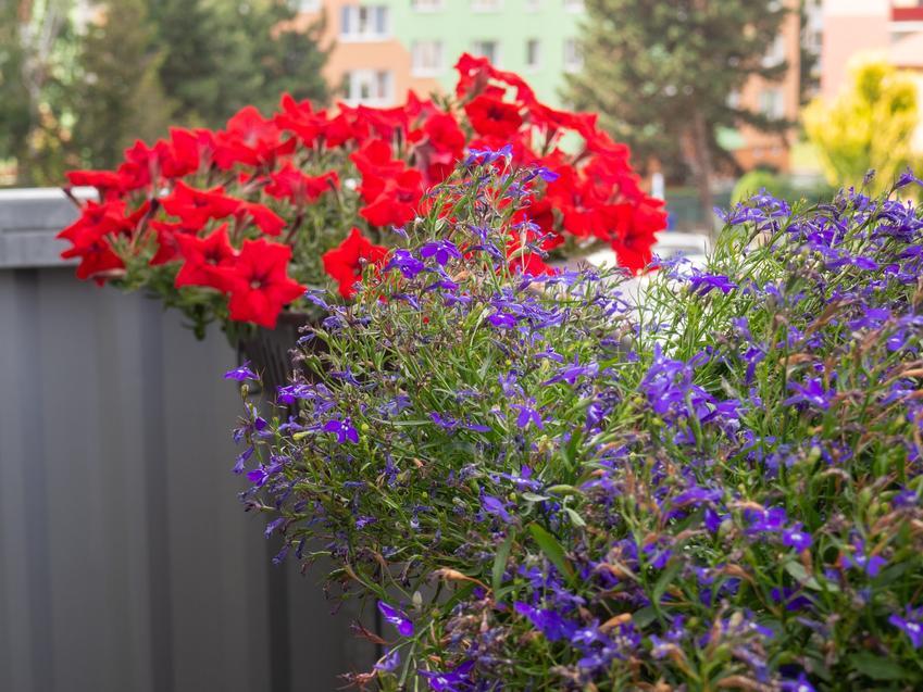 Lobelia w czasie kwitnienia oraz inne ciekawe kwiaty na balkon i kwiaty balkonowe, czyli polecane rośliny balkonowe krok po kroku