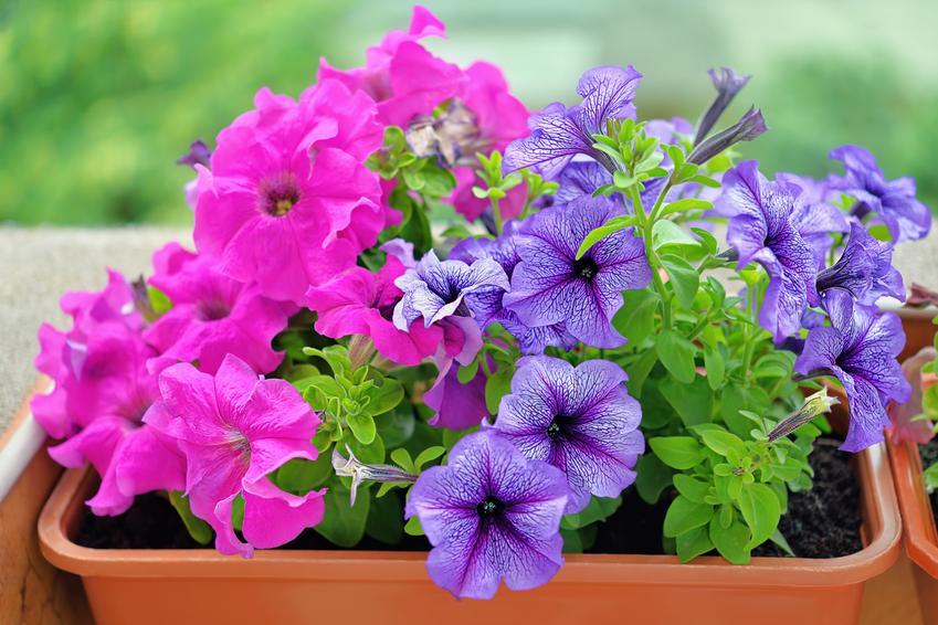 Petunie w czasie kwitnienia oraz inne ciekawe kwiaty na balkon i kwiaty balkonowe, czyli polecane rośliny balkonowe krok po kroku