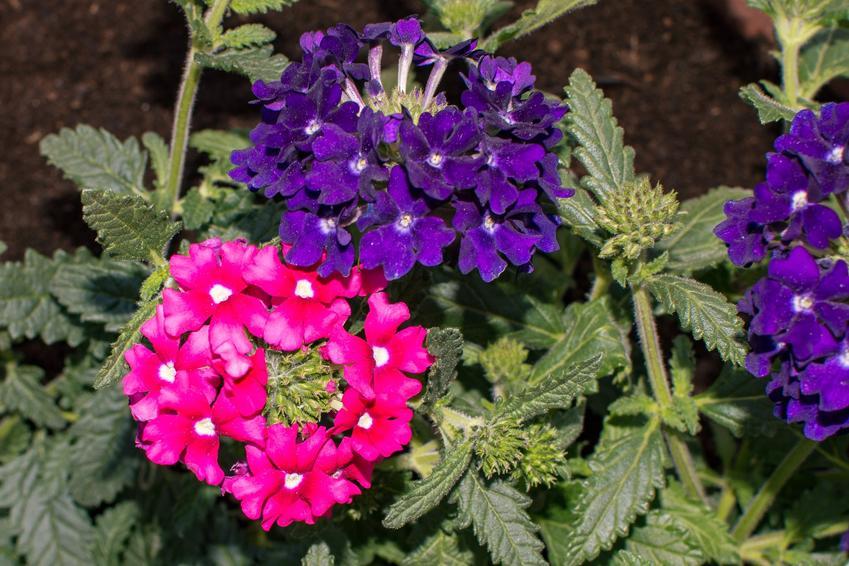 Werbena w czasie kwitnienia oraz inne ciekawe kwiaty na balkon i kwiaty balkonowe, czyli polecane rośliny balkonowe krok po kroku