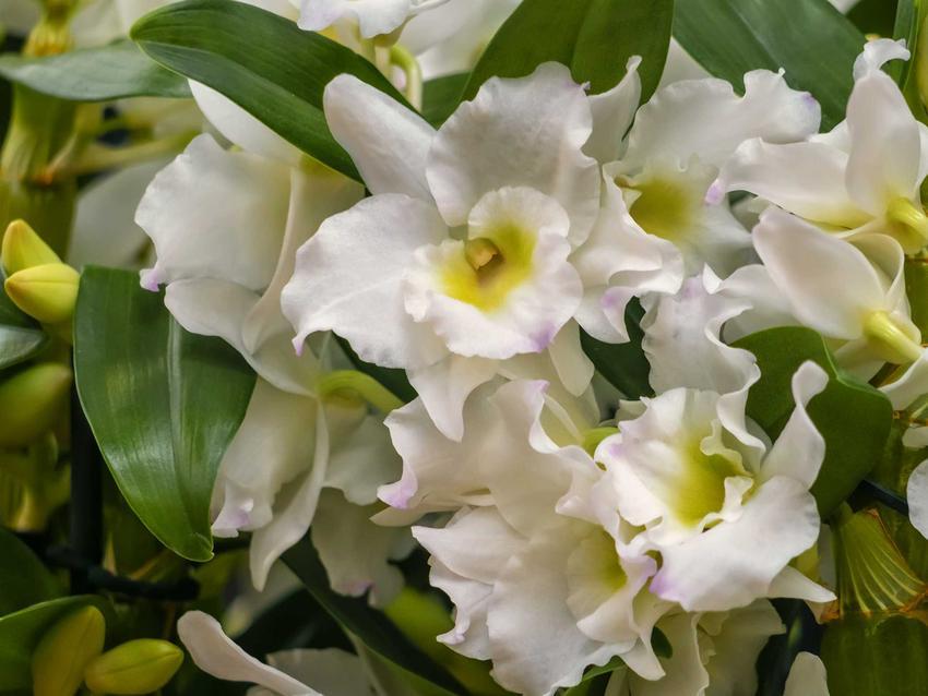 Białe kwiaty z żółtym oczkiem storczyka dedrobium nobile w doniczce, a także uprawa, pielęgnacja, sadzenie i cena rośliny