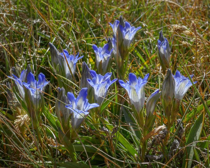 Goryczka bezłodygowa o niebieskich i białych płatkach w ogrodzie, a także 10 najlepszych roślin na skalniak krok po kroku