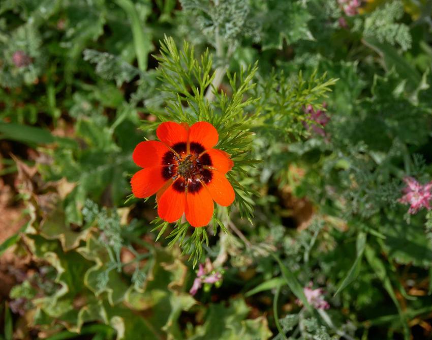 Miłek letni o czerwonych kwiatach z czarną plamką na płatkach, a także 10 najlepszych roślin na skalniak krok po kroku