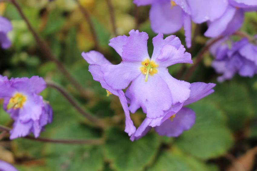 Ramonda pirenejska o fioletowych kwiatach w ogrodzie skalnym, a także 10 najlepszych roślin na skalniak, które można uprawać w Polsce
