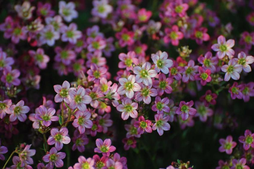 Różowe, białe i fioletowe skalnice do posadzenia w ogrodzie skalnym, a także 10 najlepszych roślin na skalniak krok po kroku