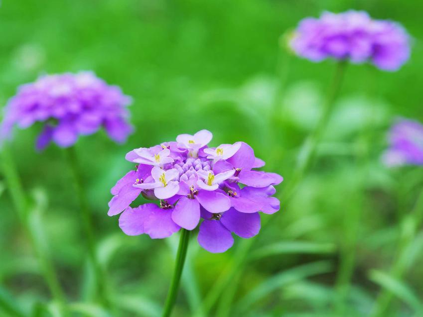 Ubiorek o delikatnych fioletowych kwiatach do posadzenia na skalniaku, a także inne 10 najlepszych roślin na skalniak krok po kroku