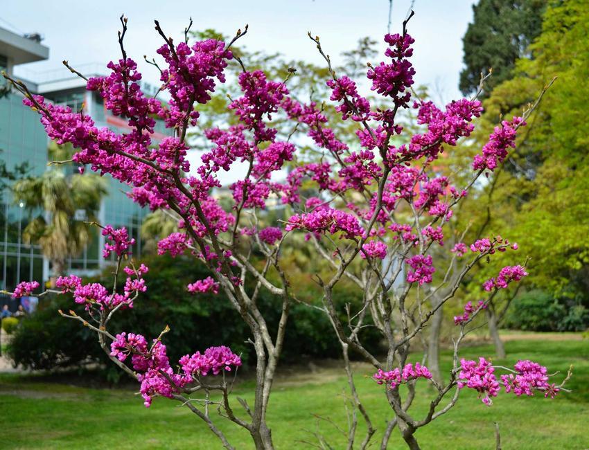 Judaszowiec w Polsce rosnący w ogrodzie, a także odmiany drzewka, uprawa, pielęgnacja oraz zastosowanie i sadzenie krok po kroku