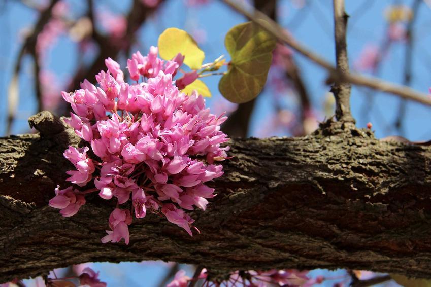 Różowe kwiaty judaszowca na korze drzewa, a także judaszowiec w Polsce, jego odmiany, uprawa i pielęgnacja