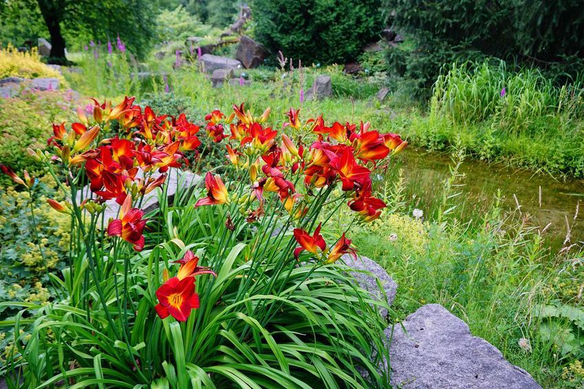 Kępa liliowców nad brzegiem oczka wodnego, a także liliowiec i jego sadzonki, cena oraz uprawa i pielęgnacja