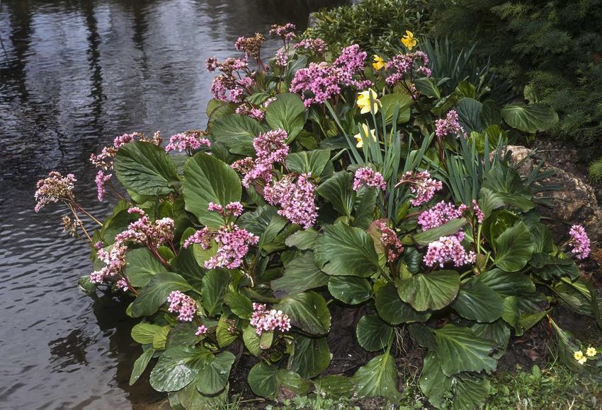 Kępa bergenii sercolistnej o fioletowych kwiatach i zielonych liściach, a także uprawa, pielęgnacja, odmiany i rozmnażanie rośliny