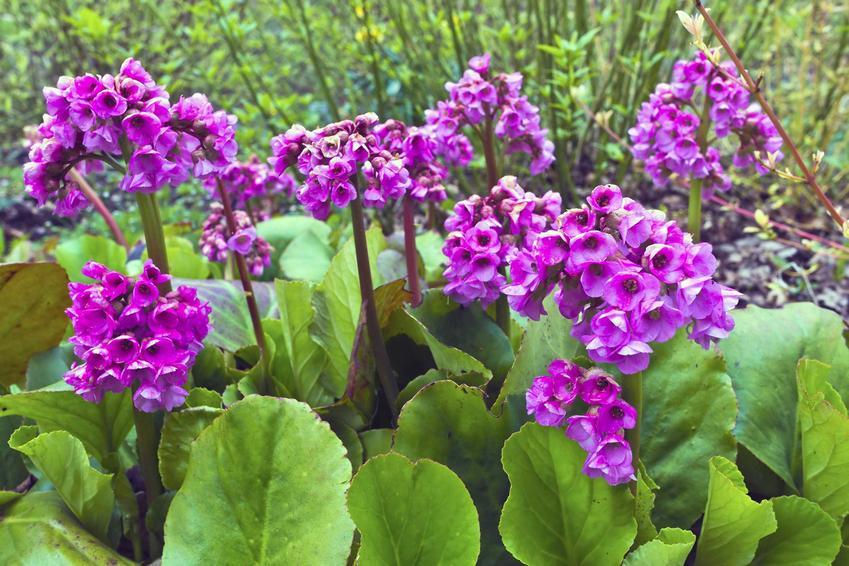 Bergenia o fioletowych kwiatach i sercowatych liściach (bergenia sercolistna), a także uprawa, pielęgnacja i zastosowanie rośliny