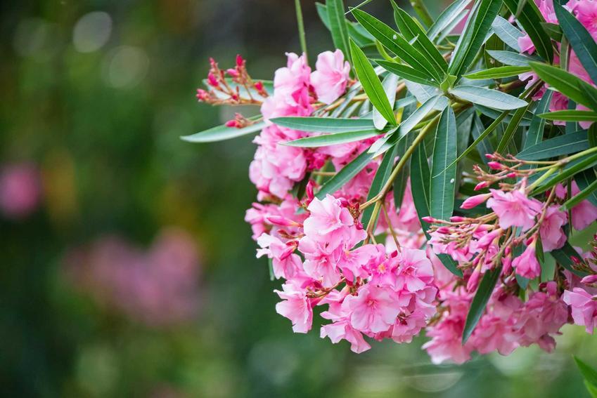 Oleander Bez Tajemnic Uprawa Pielegnacja Rozmnazanie Porady