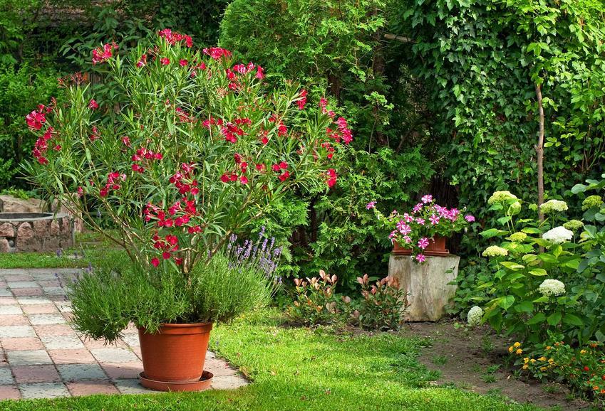 Oleander o ciemnoróżowych kwiatach rosnący w doniczce na tarasie, a także uprawa, pielęgnacja, rozmnażanie oraz sadzenie krok po kroku