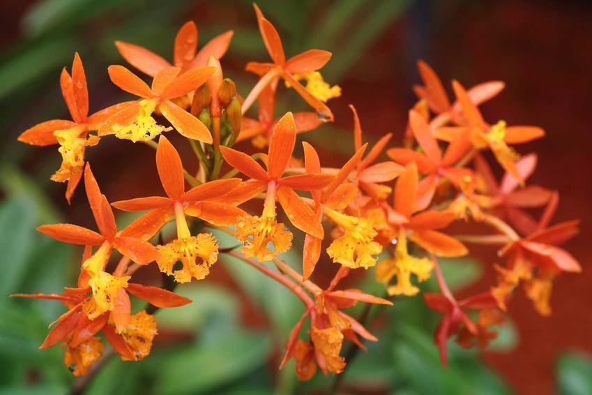 Ciemnopomarańczowe kwiaty storczyka Epidedrum, a także TOP innych rodzajów storczyków, najpiękniejsze odmiany i gatunki