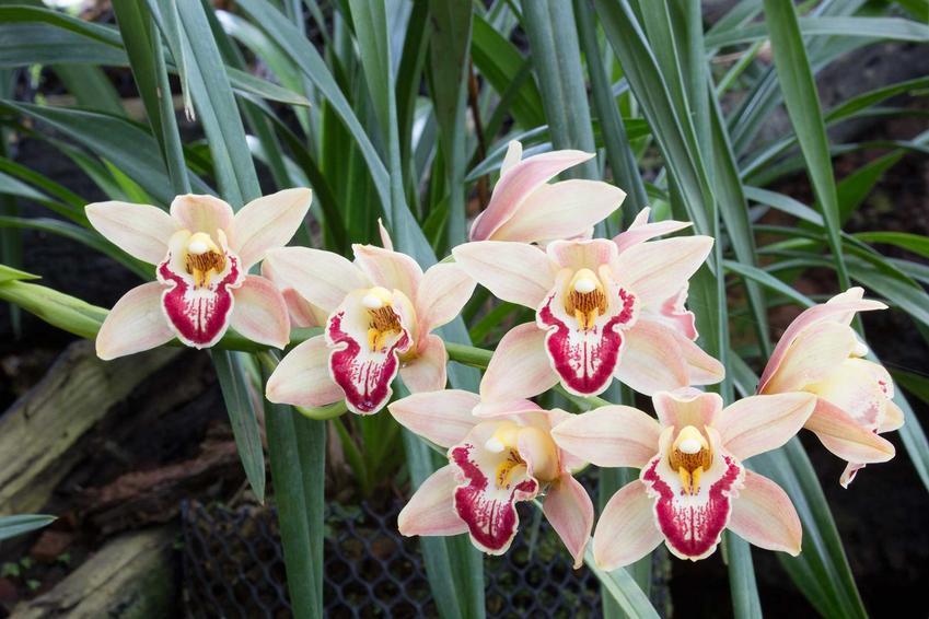 Storczyk cumbidium o niskich wymaganiach i białych kwiatach, a także inne najciekawsze rodzaje storczyków o pięknych kwiatach do uprawy