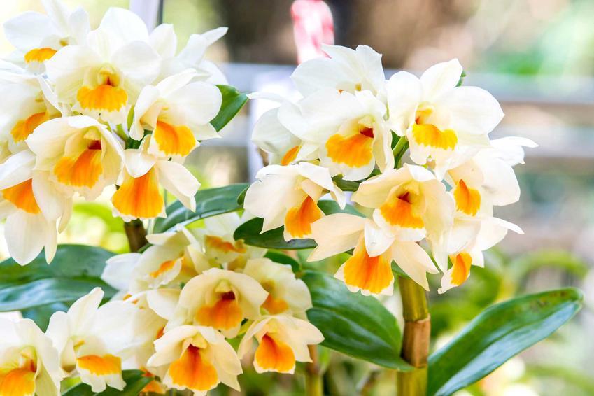Dendrobium o drobnych jasnożółto-pomarańczowych kwiatach w doniczkach, a także 10 najciekawszych rodzajów storczyków do uprawy w domu