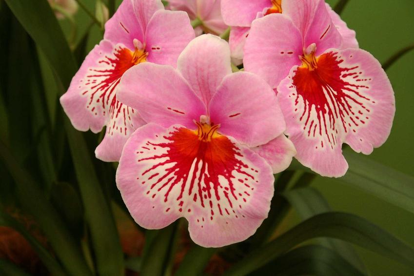 Storczyk Miltonia o różowych kwiatach, a także 10 najpiekniejszych rodzajów storczyków, gatunki i odmiany do uprawy