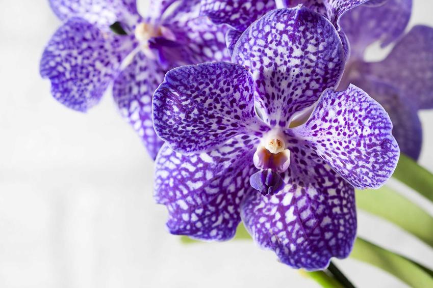Storczyk Vanda o niebieskich kwiatach z białymi plamkami, czyli wyjątkowa odmiana i jej wymagania, uprawa oraz pielęgnacja