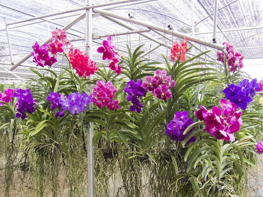 Storczyki Vanda o różnokolorowych kwiatach, a także uprawa i pielęgnacja storczyków tej wyjątkowej odmiany